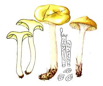 Гігрофор модриновий