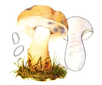 Гіропор березовий синіючий (синяк)