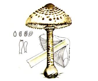 Гриб-зонтик великий