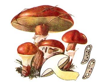 Маслюк модриновий