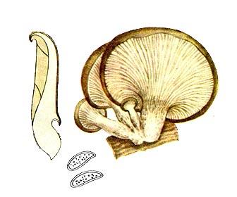 Плеврот черепичастий (глива)