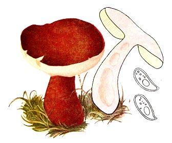 Заячий гриб (гіропор каштановий)