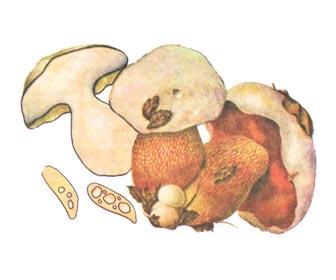 Чортів гриб