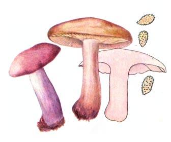 Рядовка фіолетова
